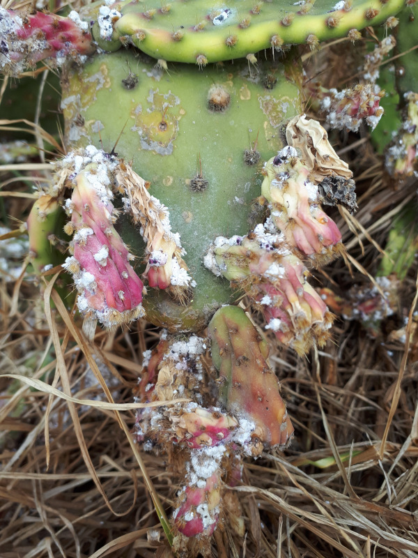 Cochineal insects on Drooping Prickly Pear