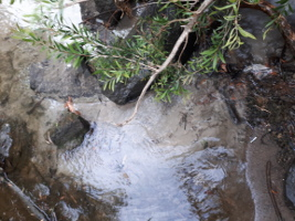 Mains water leak entering Merri Creek